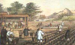 Старинная китайская картинка с чайной плантацией